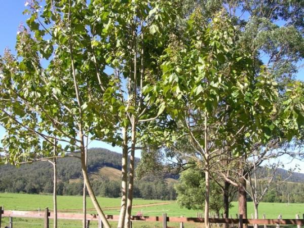 Drzewa szybko rosnące – jakie wybrać do ogrodu?